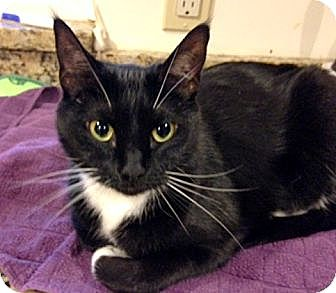 Domestic Shorthair Cat for adoption in Troy, Michigan - Lacey