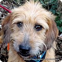 Adopt A Pet :: Bali - Maryville, TN