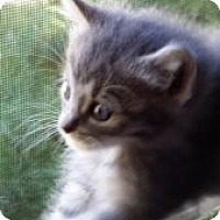 Domestic Mediumhair Kitten for adoption in Louisville, Kentucky - Monkey