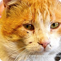 Adopt A Pet :: King Kitty - Garland, TX