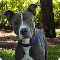 Adopt A Pet :: ROCKY - West Palm Beach, FL