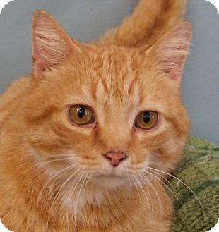 Domestic Shorthair Cat for adoption in Monroe, Michigan - Levi - Adoption Pending