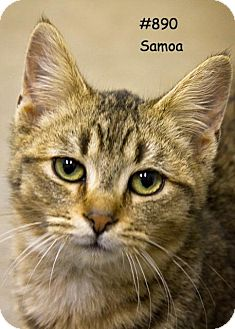 Domestic Shorthair Cat for adoption in Kendallville, Indiana - Samoa