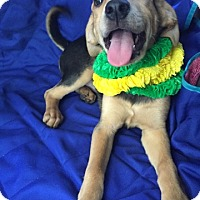 Adopt A Pet :: Lacey 1 meet me 7/8 - Manchester, CT