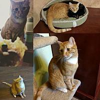 Domestic Shorthair Cat for adoption in Walnut Creek, California - Bo