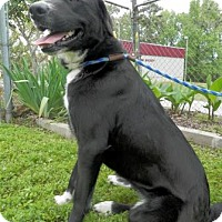 Labrador Retriever Mix Dog for adoption in Tyler, Texas - Penny May