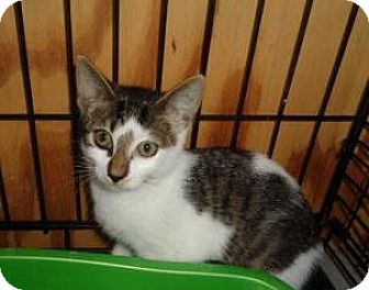 Domestic Shorthair Kitten for adoption in Breinigsville, Pennsylvania - Tamra