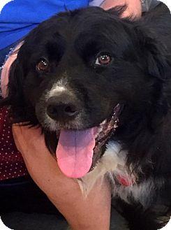 Newfoundland Mix Dog for adoption in Lincoln, Nebraska - Moose