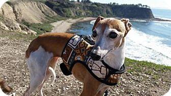Italian Greyhound Dog for adoption in San Diego, California - Dusty