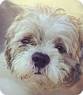 shih tzu rescue nyc new york ny shih tzu mix meet fargo a dog for adoption 9452