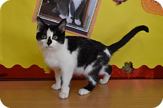 Domestic Shorthair Kitten for adoption in North Judson, Indiana - Cow