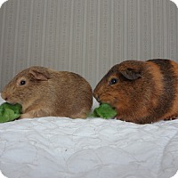 Guinea Pig for adoption in Pine Bush, New York - Gus and Brad