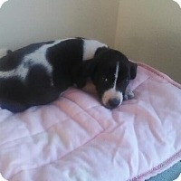Beagle Mix Puppy for adoption in Rochester, New Hampshire - Dolly