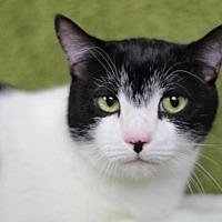 Domestic Shorthair Cat for adoption in Raleigh, North Carolina - Sammy Davis