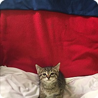Domestic Shorthair Kitten for adoption in Ringwood, Illinois - Rizzo