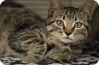 Domestic Shorthair Kitten for adoption in Houston, Texas - KIAN