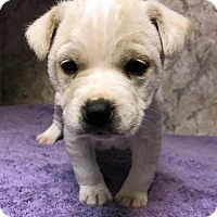 Labrador Retriever Mix Puppy for adoption in Danbury, Connecticut - Nolan