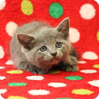 Domestic Shorthair Kitten for adoption in Yucaipa, California - Gobble