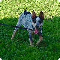 Adopt A Pet :: PJ (Paul James) - PENDING - Lancaster, PA