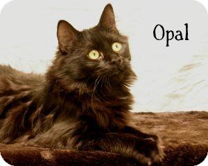 Domestic Longhair Cat for adoption in Warren, Pennsylvania - Opal