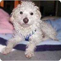 Adopt A Pet :: Matisse - La Costa, CA