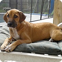 Adopt A Pet :: Ginger - Minneola, FL