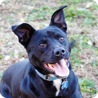 Labrador Retriever/Pit Bull Terrier Mix Dog for adoption in Atlanta, Georgia - Brock Smalls