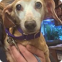 Adopt A Pet :: Cookie - Oak Ridge, NJ