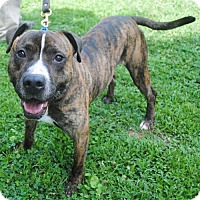 Pit Bull Terrier Mix Dog for adoption in Atlanta, Georgia - Jasper