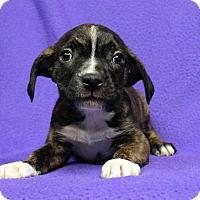 Adopt A Pet :: Raine - Westminster, CO