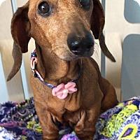 Adopt A Pet :: Janai - Weston, FL