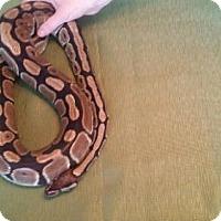 Adopt A Pet :: Reggie - Markham, ON