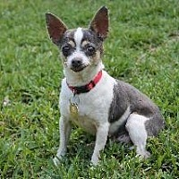 Adopt A Pet :: Primrose - Richardson, TX