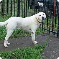 Adopt A Pet :: Snow White, great family dog - Sacramento, CA