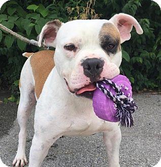 American Bulldog Mix Dog for adoption in Wilmington, Delaware - Phoenix