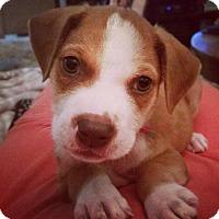 Adopt A Pet :: Atlas - Houston, TX