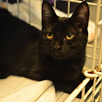 Domestic Shorthair Kitten for adoption in Beacon, New York - Taffy