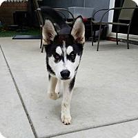 Husky Puppy for adoption in Santa Clarita, California - Rhea