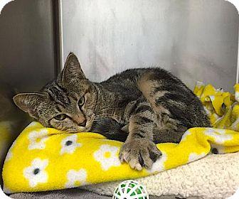 American Shorthair Kitten for adoption in Lakewood, Colorado - Jinx