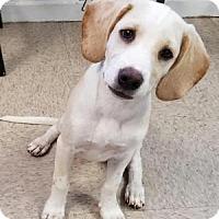 Adopt A Pet :: AMARA ~ BEAGLE MIX - Hanover, PA