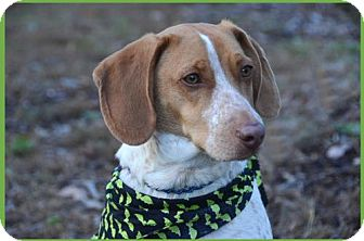 Beagle Mix Dog for adoption in Brick, New Jersey - Patches