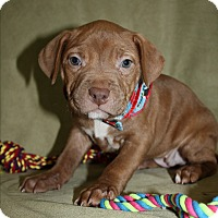 Pit Bull Terrier Puppy for adoption in Tehachapi, California - Happy