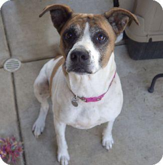 Boxer/Labrador Retriever Mix Dog for adoption in Quail Valley, California - Kaydee