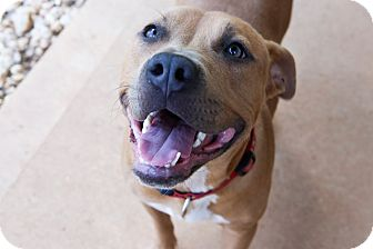 American Staffordshire Terrier Mix Dog for adoption in Charlotte, North Carolina - Marlo