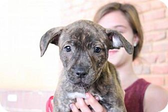 Labrador Retriever/American Staffordshire Terrier Mix Puppy for adoption in Los Banos, California - Orion