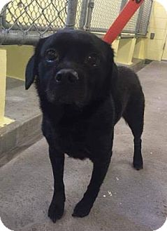 Pug Mix Dog for adoption in Newport, Kentucky - Rockstar