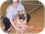 Bullmastiff Dog for adoption in Oviedo, Florida - DUCHESS