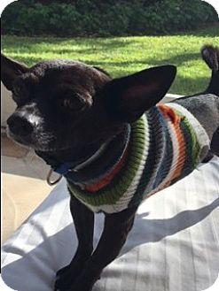Chihuahua Dog for adoption in Boynton Beach, Florida - Sammy
