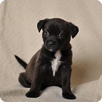 Adopt A Pet :: Storm - Westminster, CO