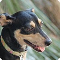 Adopt A Pet :: Ginger - Beverly Hills, CA